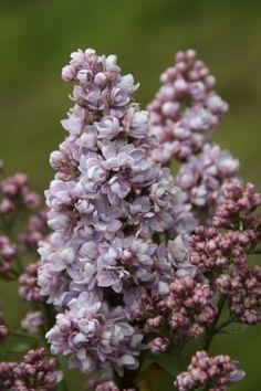 Flieder Syringa vulgaris 'Emile Lemoine'