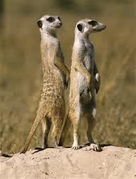 meerkats haha