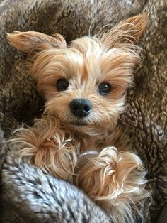 Madison. Cutest Yorkie ever!