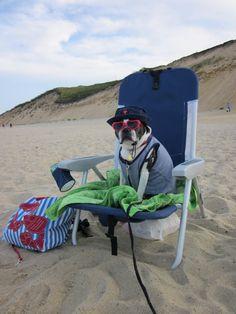 Beach bum boston terrier
