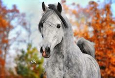 dapple gray arabian horse in autumn