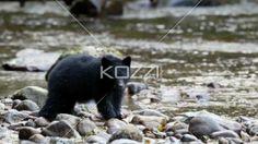 baby black bear eating fish in the british columbia rain forest - Video of black bear eating fish at river bank.