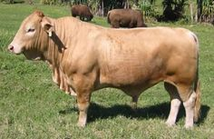 Google Image Result for http://cute-n-tiny.com/wp-content/uploads/2009/11/buffalo-cow-beefalo-400x261.jpg