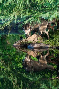 by Ron Guersney  The Wolf. His reflection in the water as he gets ready to drink...