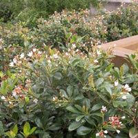 Vijver en Tuincentrum Pelckmans: Rhaphiolepis indica
