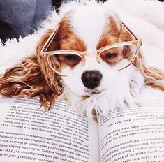 a cocker spaniel wearing glasses and laying on top of a book.