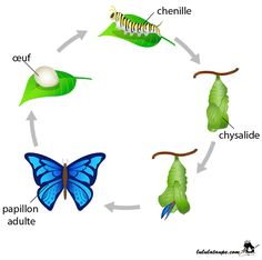 Illustration about Easy to edit illustration of Lifecycle of Butterfly diagram. Illustration of metamorphosis, butterfly, biology - 31606493 Butterfly Body Parts, Butterfly Eyes, Butterfly Species, Butterfly Life Cycle, Fun Facts For Kids, Science For Kids, Butterfly Facts For Kids, Articles For Kids, Plants That Attract Butterflies