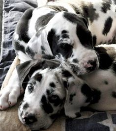 Adorable Great Dane pups, I think I need another one.....