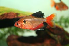Blood Red Serpae Tetra:  Hyphessobrycon eques