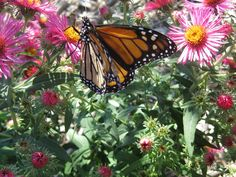 photo was taken Fall 2018 at Cheyenne's Board of Public Utilities Habitat Hero Garden. The garden was planted in June 2019 and monarch's were visiting a nativar of New England aster (Symphyotrichum novae-angliae) on their fall migratory journey. Water Sources, Drought Tolerant Plants, The Rev, Water Conservation, Water Plants, Aster, Monarch Butterfly, Fall 2018, Shrubs