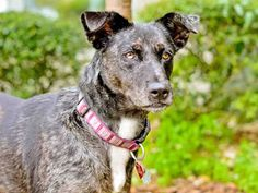 Lake Co, FL-JUNO -ID#A000406 My name is JUNO. I am a female, black and gray Australian Shepherd and Catahoula Leopard Hound.  The shelter staff think I am about 2 years and 1 month old. I have been at the shelter since Feb 03, 2015.Lake County Sheriff's Office Animal Services at (352) 343-9688 Ask for information about animal ID number A000406
