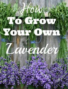Lavender is an herb that has been used for centuries and offers a plethora of health benefits. Originally grown in the Mediterranean, lavender flowers and oil are widely used. Dried lavender flowers are used in many natural remedies which proved to have antiseptic, producing calming and relaxing effects. English Lavender is the most common strain …