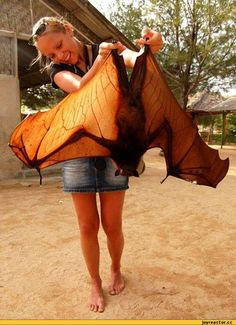 Flying Fox.  The largest of the bats, it gets its name from the fox-like shape of its head.  Wingspan up to six feet.  Beautiful color!!!