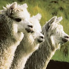 The Alpaca Fiber Auction~changing the national dialogue for discovering fiber value and pricing in the global textile market.