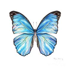 Blue Butterfly Discover Blue Morpho Butterfly by Fran Henig Blue Morpho Butterfly Painting - Blue Morpho Butterfly Fine Art Print Blue Butterfly Tattoo, Butterfly Canvas, Morpho Butterfly, Blue Morpho, Butterfly Drawing, Butterfly Painting, Butterfly Watercolor, Butterfly Wallpaper, Watercolor Art