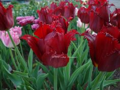 Fringed Tulip 'Pacific Pearl'