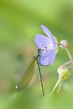 ☆ Female Banded Demoiselle :¦: By Jacky Parker on Flickr ☆
