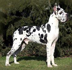 Great Dane i-like-big-dogs #Pinterest Pin-a-away  Big Dogs = Man's Best Friend / www.PetWellbeing.org