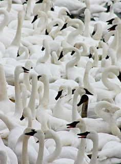 Thousands of #Trumpeter #Swans gather for winter on the unfrozen #Mississippi River in Monticello, Minnesota by Amanda Stadther.  http://amanda-stadther.artistwebsites.com/