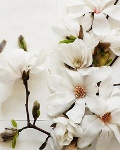White magnolia, flowers.