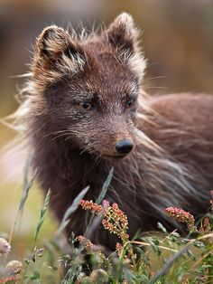 Arctic Fox (Vulpes lagopus fuliginosus) by Gudmann on Flickr ~ Iceland*