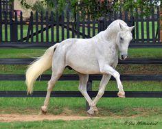 akingdomofhorses:  25 /۩ Fantastic Warmbloods Mannhattan, 1991 Oldenburg Stallion