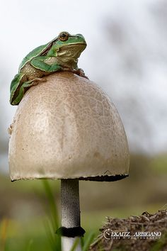 Big toad stool, or small frog?