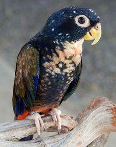 Pionus chalcopterus - Bronze Winged Parrot