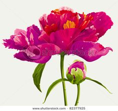 Luxurious red peony flower and the bud painted in bright colors - stock vector