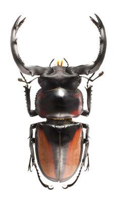 Rhaetulus speciosus