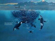 How orcas work together They surround the school of herring when other members of the pod is underneath the herring forcing the fish towards the surface then the orcas roll over showing their white bellies to scare the fish then the pod uses their tails to stun them.