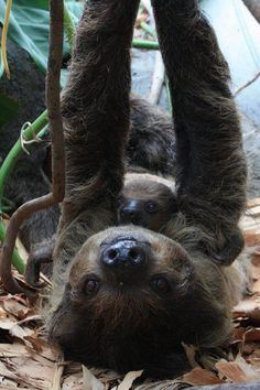 New baby sloth at the National Aquarium in Baltimore (Nov 2012)