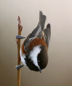 Chestnut-backed Chickadee: Pacific NW and W Canada, from Alaska to SW California. Tit family