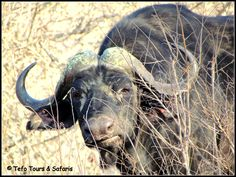 Cape Buffalo spotted in Kruger National Park Kruger National Park, National Parks, South Africa, Buffalo, Cape, Tours, Travel, Animals, Mantle