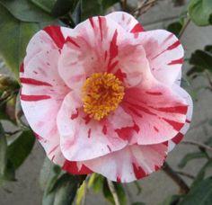 Tricolor (Siebold) Camellia Japonica