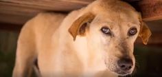I am very scared of humans, which means I cannot be adopted right now. Will you please help with my ongoing care? Will you visit https://www.soidog.org/ now to become a SPONSOR for me?  My name is Harlem and this is my story. A nice lady found me when I was severely ill with blood parasites and she brought to the Soi Dog shelter to be cared for. While I am a healthy dog once more, my past life has scarred me deeply.
