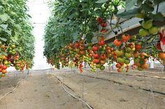 Europa compra ahora un 20% más tomate marroquí que hace un año