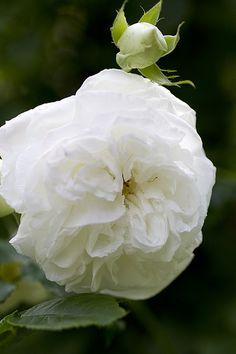 AIMEE VIBERT - 1828 - rampicante di noisette - wit gevuld- bloeit laat