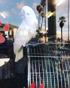 Pipa you are crazy 🙈 #cockatoo #myumbrellacockatoo #parrot #bird #pet #iloveher #ilovemybaby #cute #himom #iamilove #iloveher #dtla…
