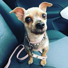 Dolly diamond had a haircut 🐾🐾 @missdaniteeze  #dogsofinsta #dogs #yorkie #yorkshireterrier