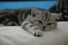 Tabby Kitten - Tabby refers to the coat pattern of a cat. Here you will find a collection of pictures of cute silver tabby kittens that will take away all your attraction. British Shorthair Silver Tabby, British Shorthair Kittens, Silver Tabby Kitten, Grey Kitten, Kittens Cutest, Cats And Kittens, Tabby Cats, Pretty Cats, Beautiful Cats