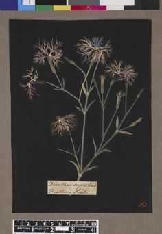 Dianthus Superbus, formerly in an album (Vol.III, 73); Feather'd Pink. 1774 Collage of coloured papers, with bodycolour and watercolour, on black ink background