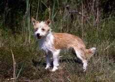 Portuguese Podengo Pequeno  dog breed