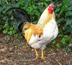 Different Kinds of Roosters