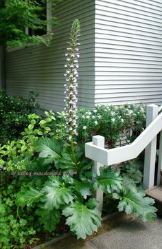 Full size picture of Bear's Breeches, Oyster Plant (<i>Acanthus mollis</i>)