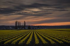 Sunset over the daffodil fields, Roozengaarde (tulips.com), Mount Vernon, WA.