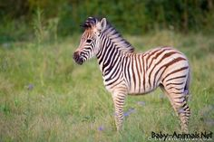 Zebra is a very lovely and cute animal, check out here all interesting facts about Zebra with new Zebra's photos-images. Zebra Pictures, Cute Animal Pictures, Wildlife Photography, Animal Photography, South Africa Wildlife, Baby Zebra, Baby Horses, Animal Facts, Cute Baby Animals