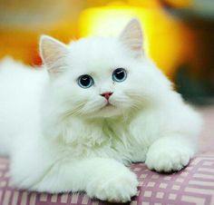 Blue eyes white cat   #cats