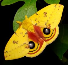 "The Io Moth (Automeris io) is a colourful North American moth in the Saturniidae family. In Canada, it ranges from the southeast corner of Manitoba to the southern parts of Ontario, Quebec, and New Brunswick. In the US it is found in many midwestern states, and in the east down to the southern end of Florida. Wingspan of 2.5–3.5"" (63–88 mm)"