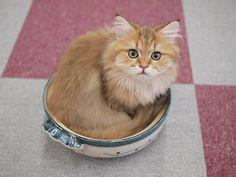 猫カフェに鍋猫(青梅・VIPなネコカフェ)の画像 | マロンの物語 feat.猫カフェ Cats